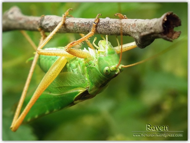 Pasikonik zielony (samiec)
