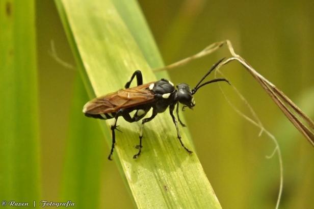Macrophya duodecimpunctata